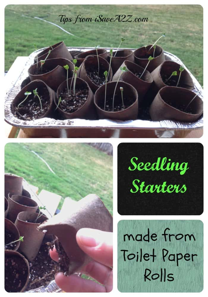 Seedling starters from toilet paper rolls
