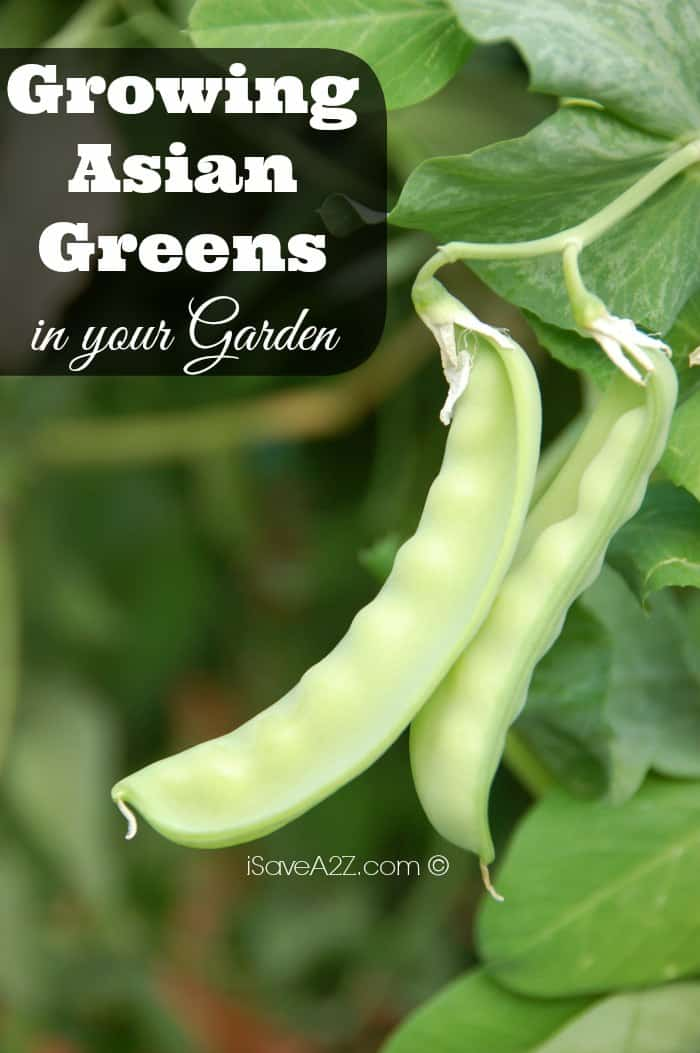 Growing Asian Greens in your Garden