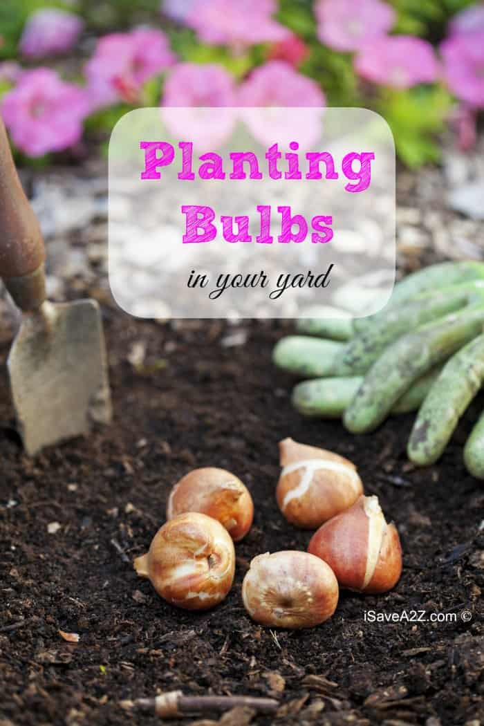 Planting Bulbs in your Yard