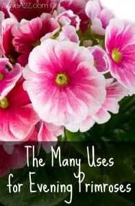 The Many Uses for Evening Primroses