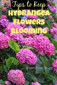 Tips to Keep Hydrangea Flowers Blooming