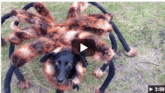 Pet Halloween Costume Idea Giant Spider Dog Costume Isavea2z Com