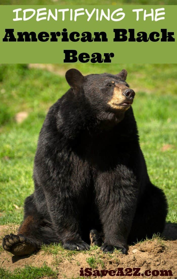 Identifying The American Black Bear Country Living Tips Isavea2z Com