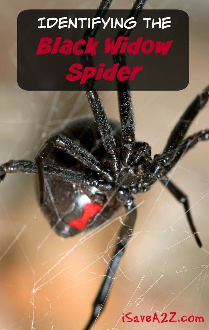 Identifying The Black Widow Spider Country Living Tips