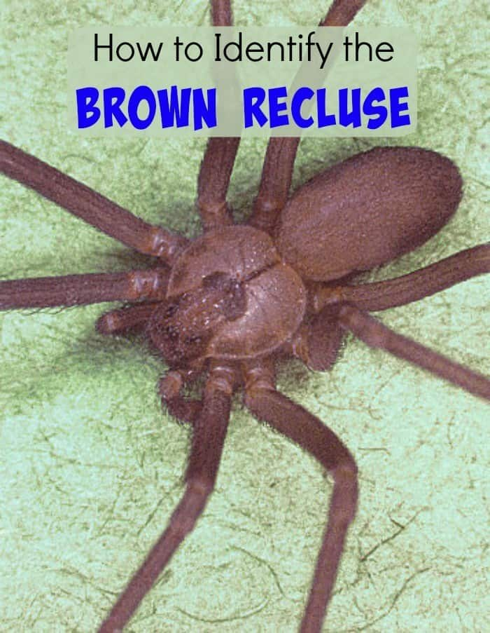 How to Identify the Brown Recluse - Country Living Tips ...