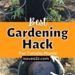 BEST Garden Hack for Watering Tomato plants!