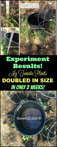 Tomato plants watering trick