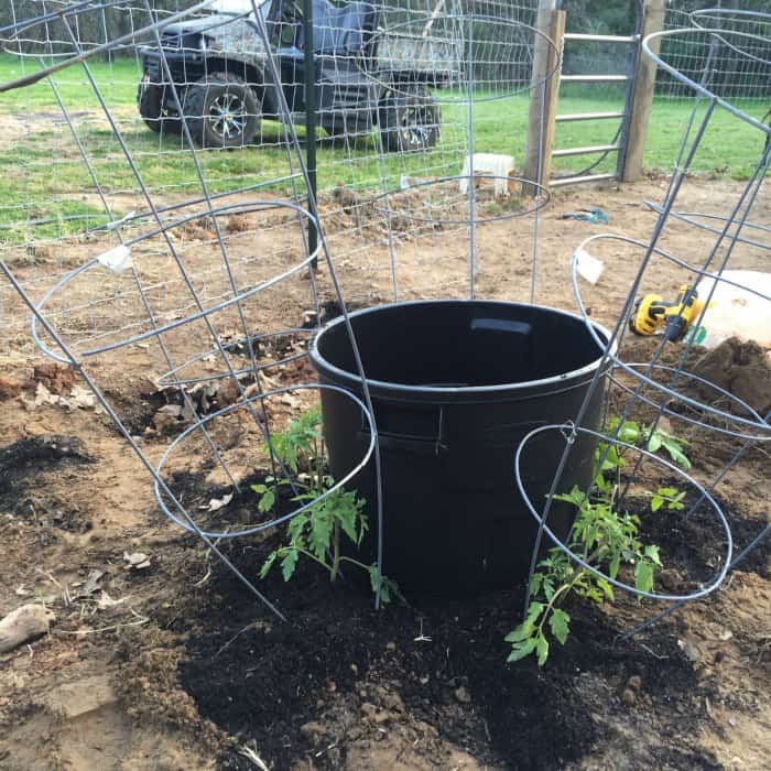 Tomato Plant Watering Hack